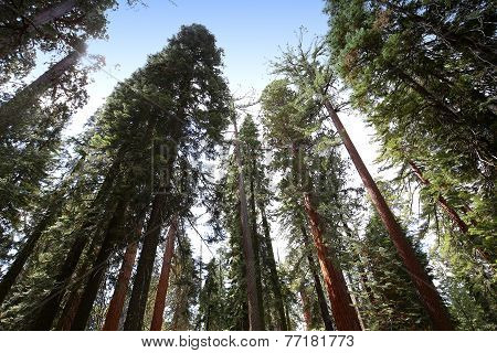 Sequoias at Mariposa Grove, Yosemite national park, california, usa
