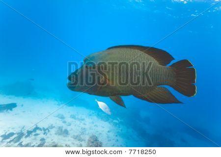 Napoleon ryba