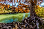 Intricate Intertwined Gnarly Cypress Tree Roots with Beautiful Fall Foliage on the Banks of the Guadalupe River at Guadalupe State Park, Texas poster