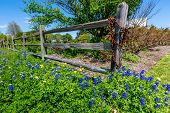 A Wide Angle View of Beautiful Texas Bluebonnet  (Lupinus texensis) Wildflowers in Front of Old Wooden Fence poster