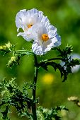 A Beautiful Closeup of a Couple of Beautiful White Prickly Poppy (Argemone albiflora) Wildflowers with their Paper-like Petals Growing Wild in Texas. poster