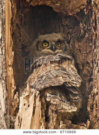 Baby Great Owl