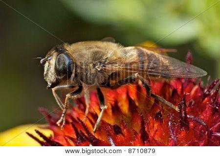 Bee in large closeup