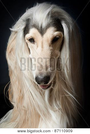 Outstanding Afghan Hound