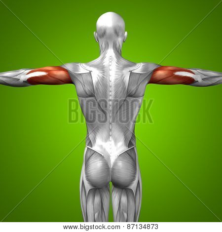 Concept or conceptual 3D triceps human anatomy or anatomical and muscle on green gradient background poster