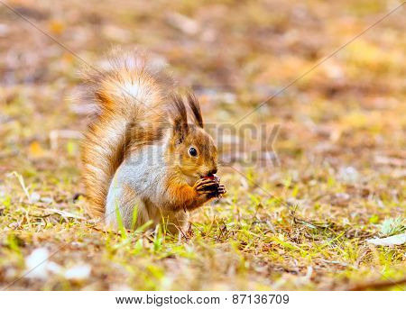 Red Squirrel Keeps Paws Nut
