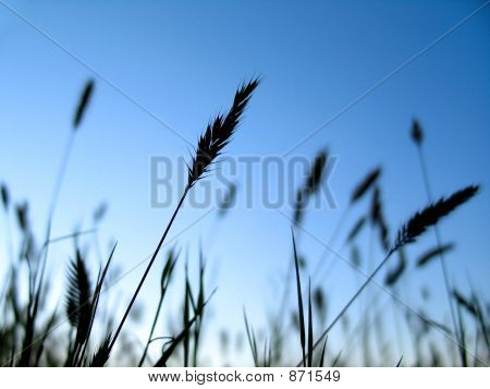 Wheat Grain 2