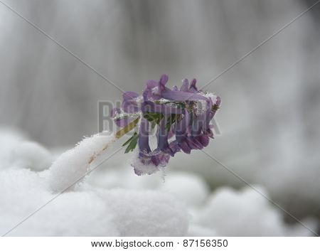 Corydalis Flower Surrounded With Snow