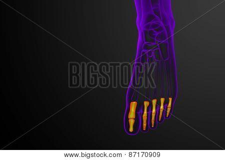 3D Render Medical Illustration Of The Phalanges Foot