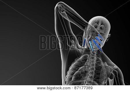 3D Render Illustration Of The Human Phalanges Hand