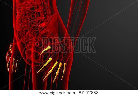 3D Render Illustration Of The Human Phalanges Hand