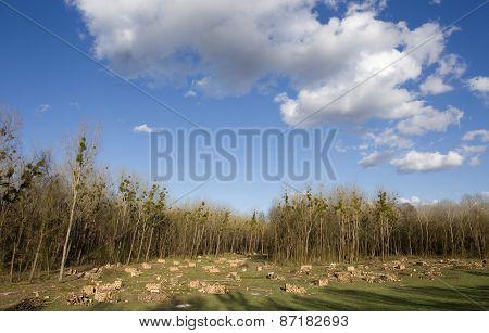 Cut Trunks On Meadow
