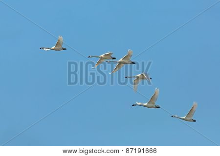 Flock Of Tundra Swans Migrating Against A Blue Sky