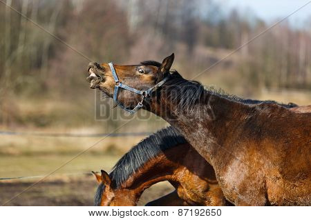 Sniffing Horse