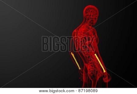 3D Render Medical Illustration Of The Ulna Bone