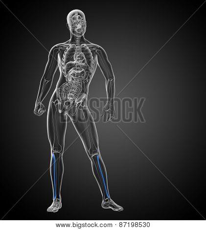 3D Render Medical 3D Illustration Of The Fibula Bone