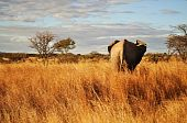 A lone elephant ventures out to graze in the African bush. poster