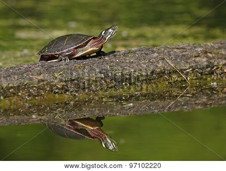 Painted Turtle Basking On A Log