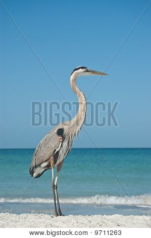 A Great Blue Heron on the sand of a Gulf Coast Florida beach. poster