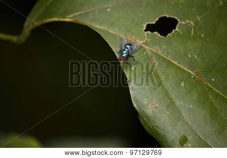 Blue Housefly Posed On A Flaw Leaf