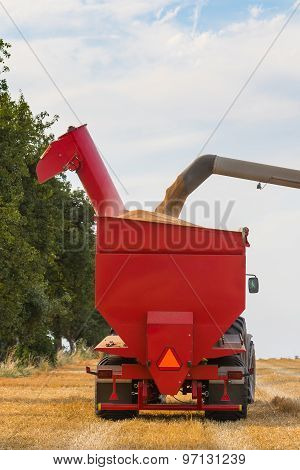 Wheat Grains Filling Tractor's Trailer