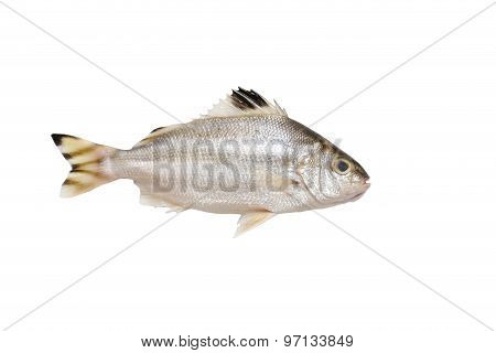 Grunter Fish Isolated On White Background.