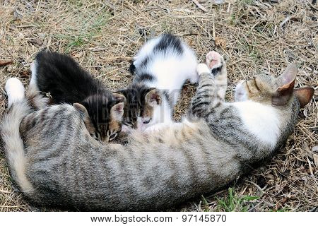 Mother cat and kittens during lactation photographed in daylight. poster