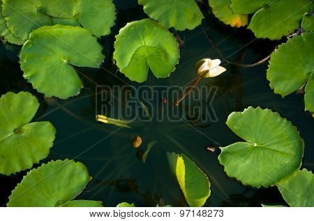 White Lotus On Dawn