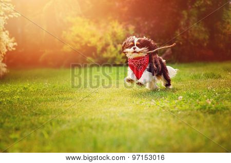 tricolor cavalier king charles spaniel dog playing and running with stick in summer sunny garden