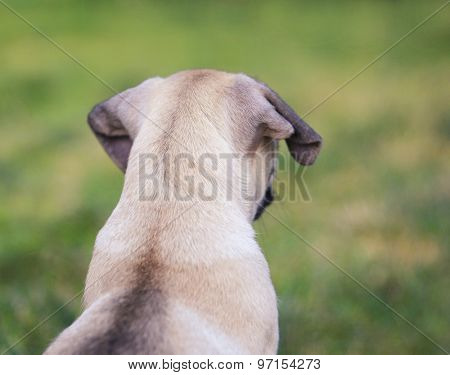 a cute baby pug chihuahua mix puppy looking out across the grassy clover during summer