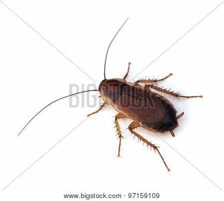 Wood Cockroach