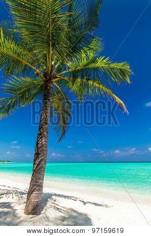 Single coconut palm tree on a tropical beach casting shadow on sand