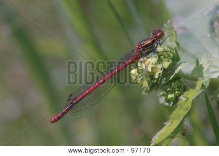 Dragonfly (pyrrhosoma Nymphula)