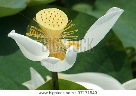 Vietnamese Flower, White Lotus Flower