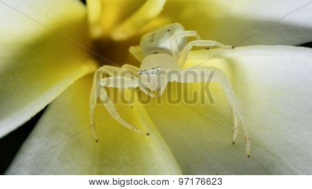 Spider white Macro