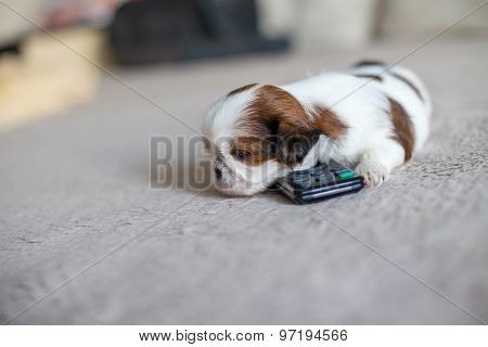 Little White Shih-tzu Pup At Remote