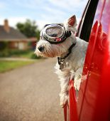 a cute westie - west highland terrier with goggles on riding in a car down an urban neighborhood road poster