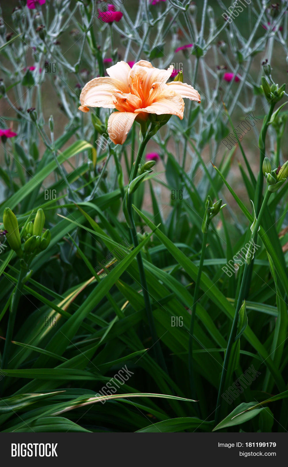 Flower Day Lily Salmon Image & Photo (Free Trial) | Bigstock