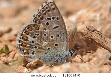 Common Blue or Polyommatus icarus, Small blue butterfly on the ground, natural habitat
