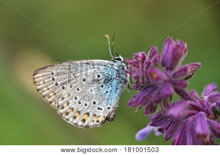Plebejus argus, Silver Studded Blue butterfly collecting nectar from wild flower with a green background
