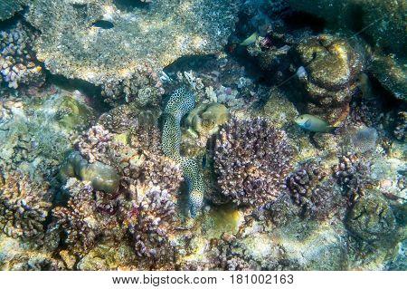 Honeycomb moray eel ( Gymnothorax favagineus ) swimming around