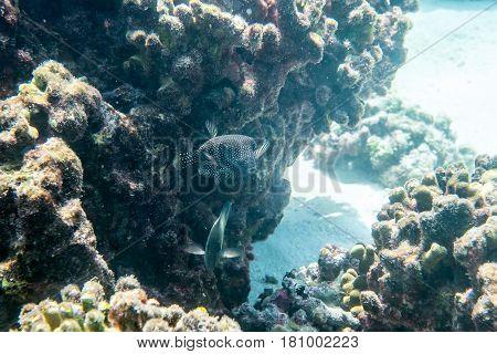 Guineafowl puffer ( Arothron meleagris ) swimmming arounn the reef