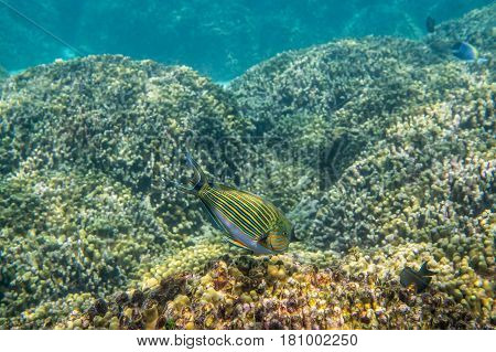 Lined Surgeonfish ( Acanthurus lineatus ) swimming around the reef