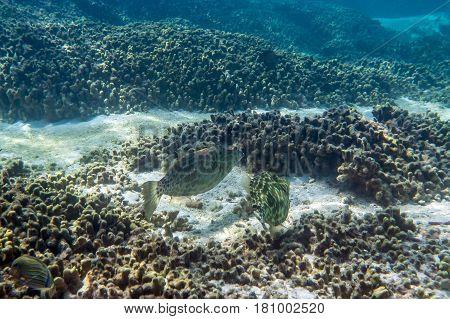 Scrawled filefish or broomtail filefish ( Aluterus scriptus ) swimming around