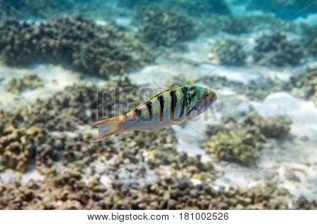 Sixbar Wrasse ( Thalassoma hardwicke ) swimming around the reef