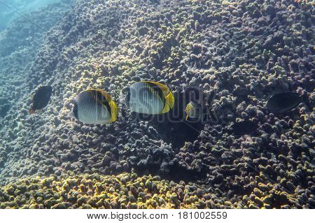 Two Lined Butterflyfish ( chaetodon lineolatus ) swimming around the reef