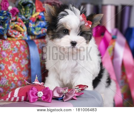 beaver puppy and Ribbons, bows