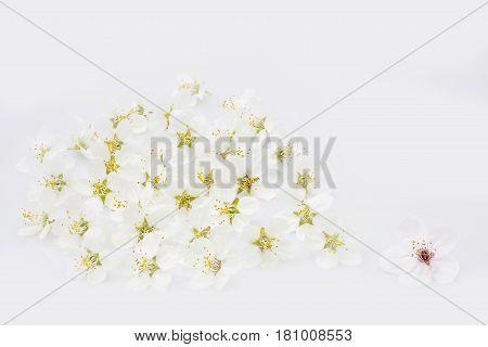 Spring blossoms macro shot on light background