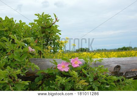 Corral for cattle and horses with yellow bitter-cress and pink wild roses. Pastoral view of flower meadow and fenced place for walking cows and horses.
