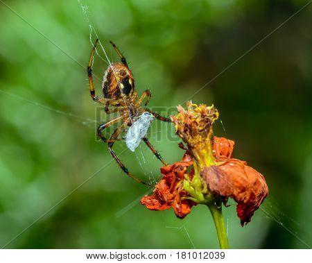 Araneus Brisbanae Is A Species Of Spider Orb-weaver Spider Belonging Familia. This Species Is Also P